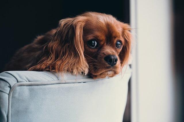 pies na kanapie przy oknie patrzący na fotografa